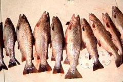 A nice bunch of Brown Trout caught while charter fishing around Kenosha Wisconsin. Fall of 2008